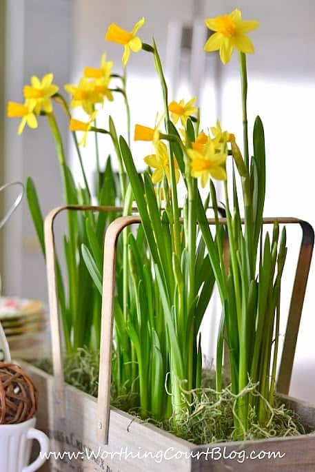 Yellow daffodils in the kitchen.