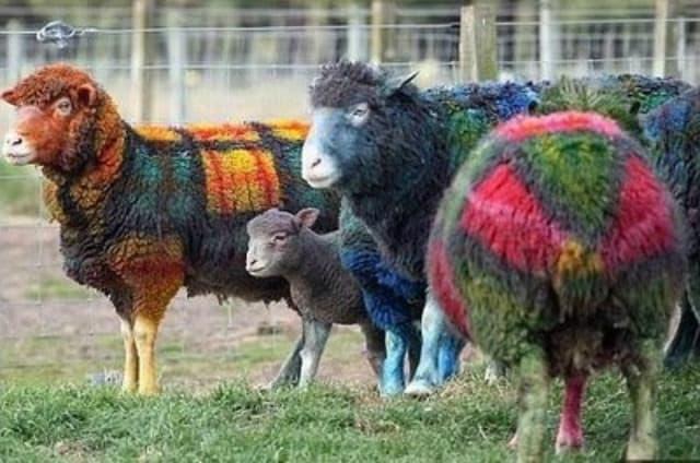 Plaid sheep.