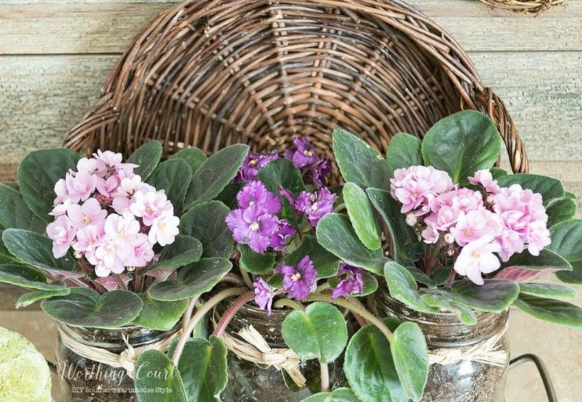 Three mason jars plants with purple and pink violets.