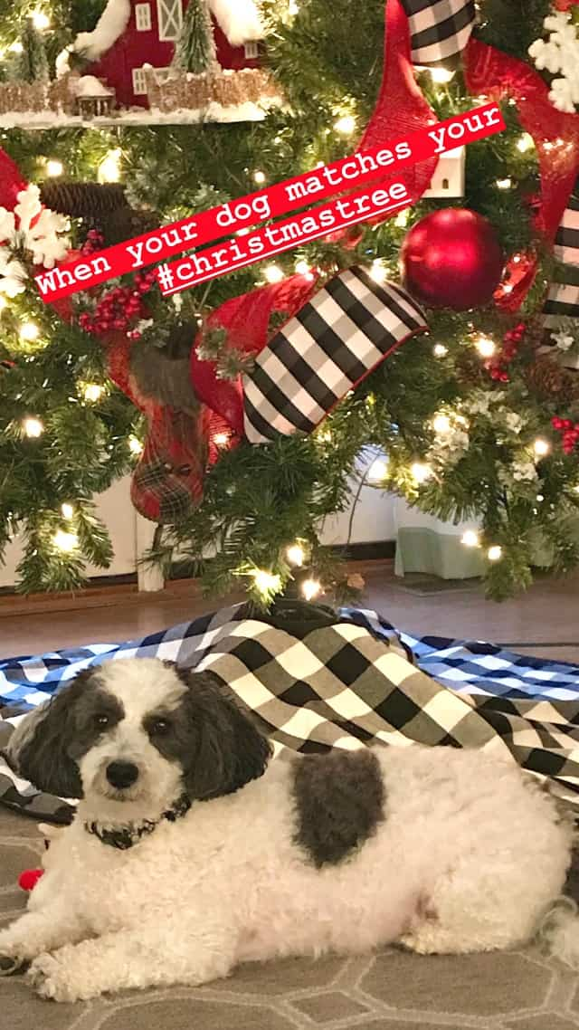 black and white dog in front of Christmas tree